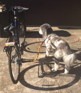 Product Review- Bike Tow Leash- Dog Biking and Running